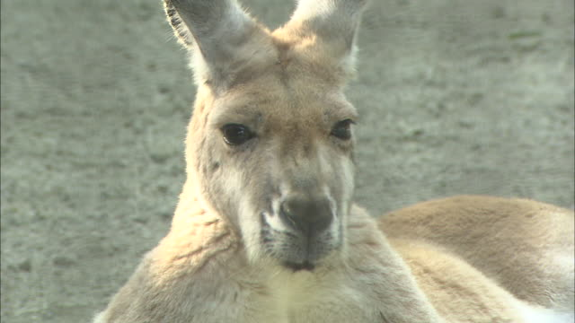 a joey rests in its mother's pouch. - カンガルーの子点の映像素材/bロール