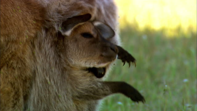 a joey rides in his mothers pouch. - beuteltier stock-videos und b-roll-filmmaterial