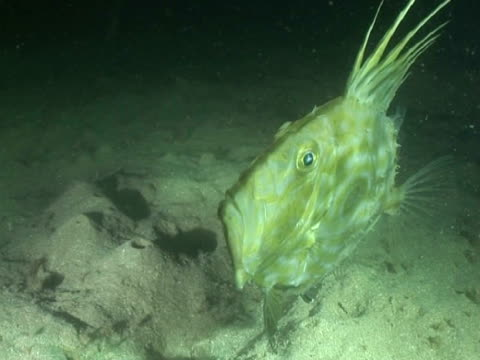 john dory fish feeding at night - john dory fish stock videos & royalty-free footage