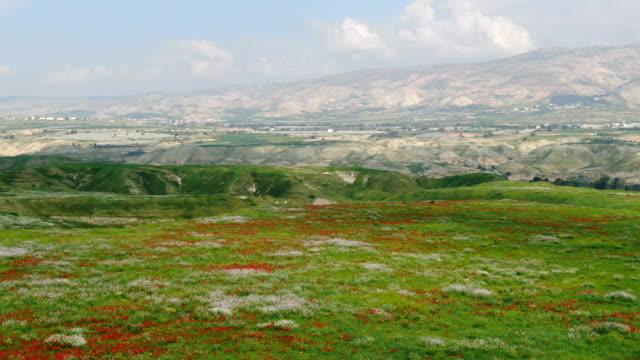 jordan valley aerial / red wild anemone flower spring bloom in green valley - ranunculus stock videos & royalty-free footage