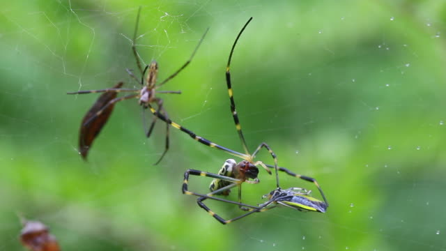 joro spider (trichonephila clavata, nephila clavata) catching prey in the web - silk stock videos & royalty-free footage