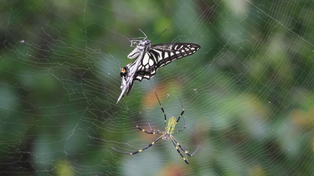 joro spider (nephila clavata) catching swallowtail butterfly in the web - silk stock videos & royalty-free footage