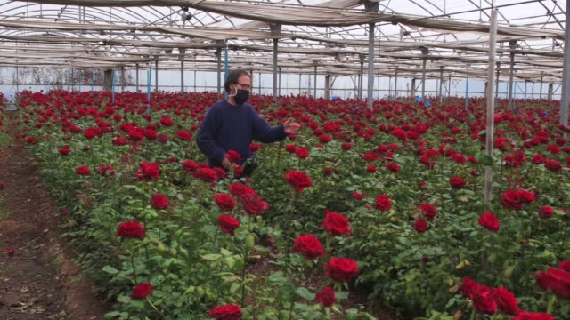 josep pons wearing a face mask walks among abandoned roses at his family rose plant nursery flors pons on april 22, 2020 in santa susanna, near... - pons stock videos & royalty-free footage