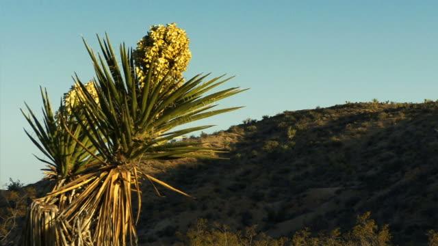 a joshua tree blooms in a california desert. - 熱帯の低木点の映像素材/bロール
