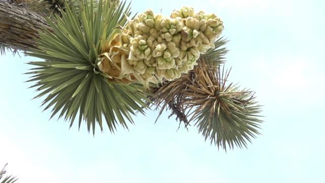 joshua tree flower bloom - deserto mojave video stock e b–roll