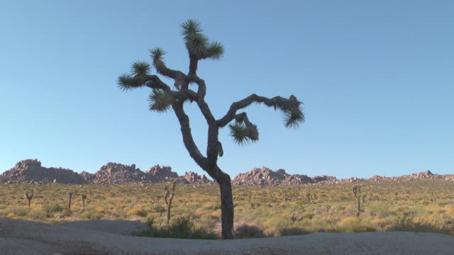 a joshua tree grows near mountains in joshua tree national park. - joshua tree stock videos and b-roll footage