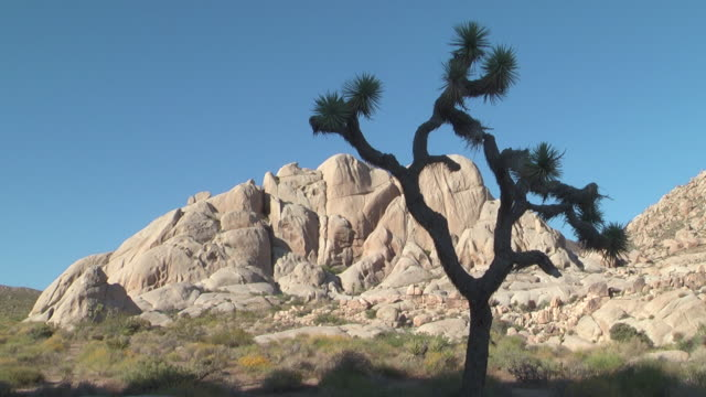 a joshua tree grows near white rock formations. - yucca brevifolia stock videos & royalty-free footage