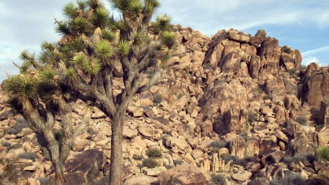 joshua tree in mojave desert - 熱帯の低木点の映像素材/bロール