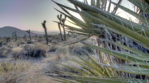 joshua tree national park - cactus stock videos & royalty-free footage
