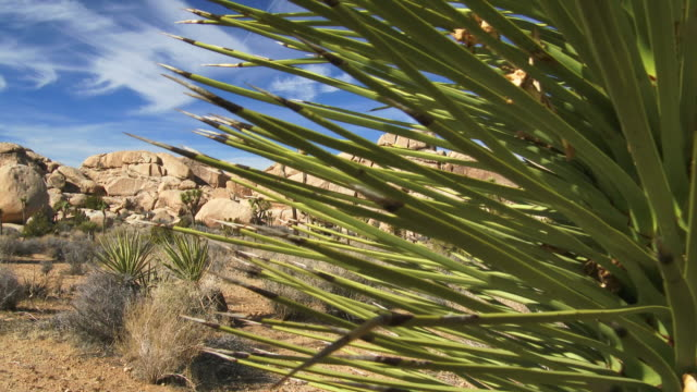 joshua tree national park - tropical bush stock videos & royalty-free footage