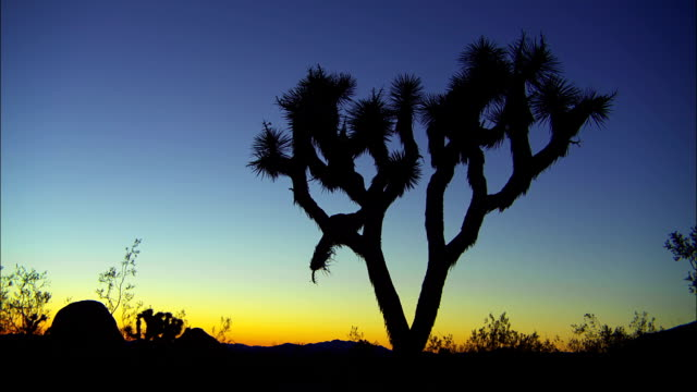 vídeos de stock, filmes e b-roll de a joshua tree stands in silhouette against a purple and yellow sky. - arbusto tropical