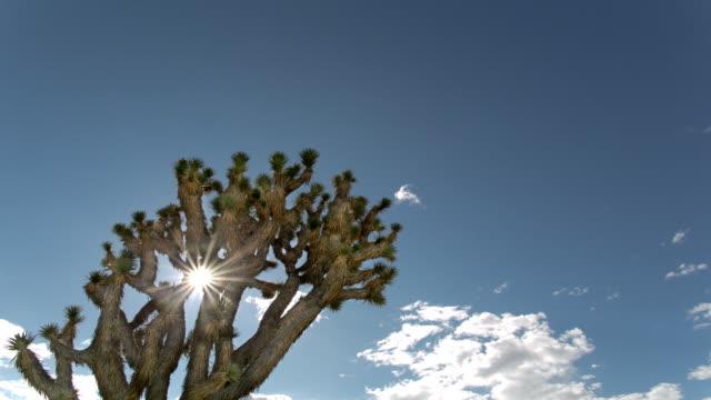 vídeos de stock, filmes e b-roll de árvore de joshua - arbusto tropical