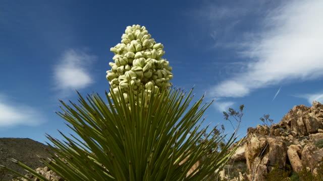 vídeos de stock, filmes e b-roll de joshua tree - arbusto tropical