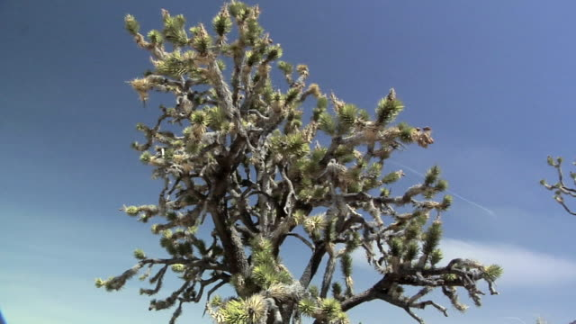vídeos de stock, filmes e b-roll de ms la pan joshua trees (yucca brevifolia) against clear sky near cima, california, usa - arbusto tropical