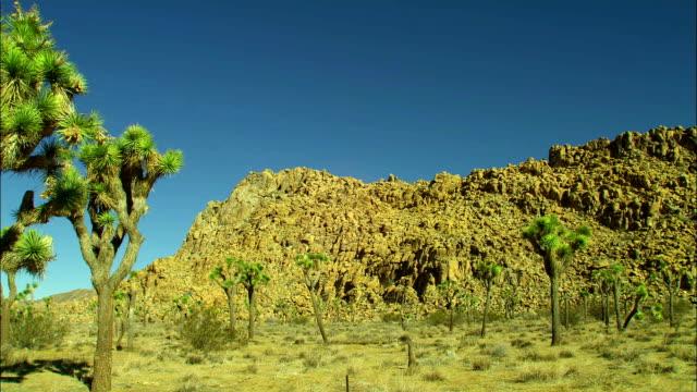 vídeos de stock, filmes e b-roll de joshua trees grow in a desert. - arbusto tropical