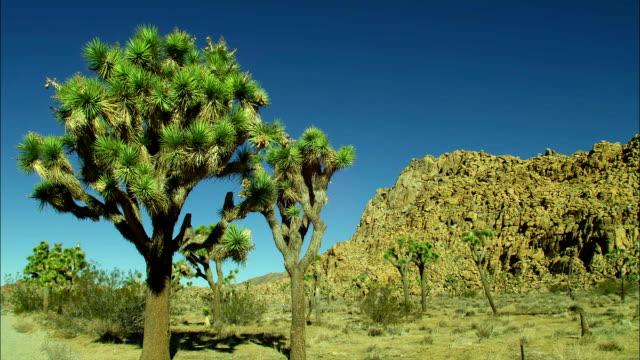 vídeos de stock, filmes e b-roll de joshua trees grow in the desert. - arbusto tropical