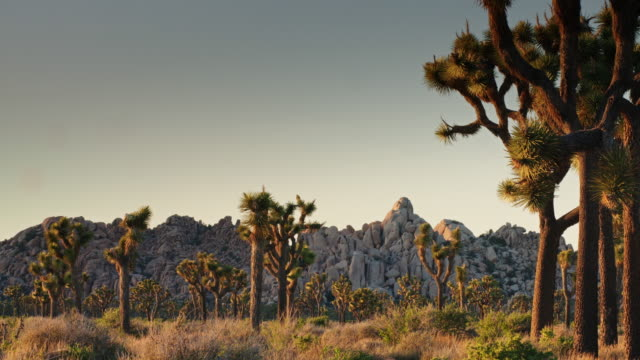 joshua trees in breeze - cactus sunset stock videos & royalty-free footage