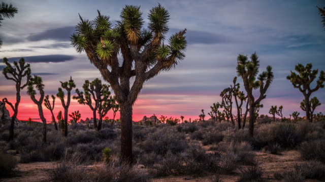 joshua trees in the desert at twilight - joshua tree national park stock videos & royalty-free footage