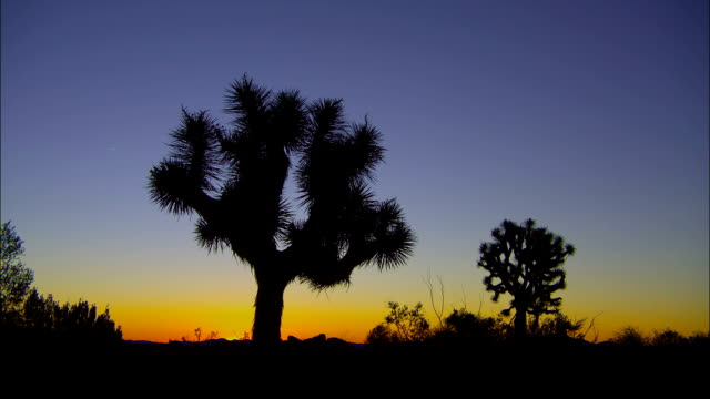vídeos de stock, filmes e b-roll de joshua trees stand in silhouette against a purple and yellow sky. - arbusto tropical
