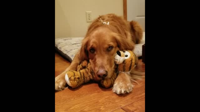 josie is sad she ate the ear off of her tiger. adorable! - animal ear stock videos & royalty-free footage
