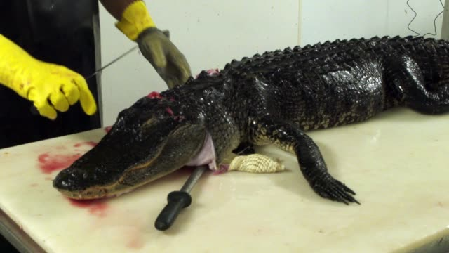 juan rios head skinner for all american gator company works in the processing plant where he butchers an alligator for the meat and hide on may 7... - american alligator stock videos & royalty-free footage