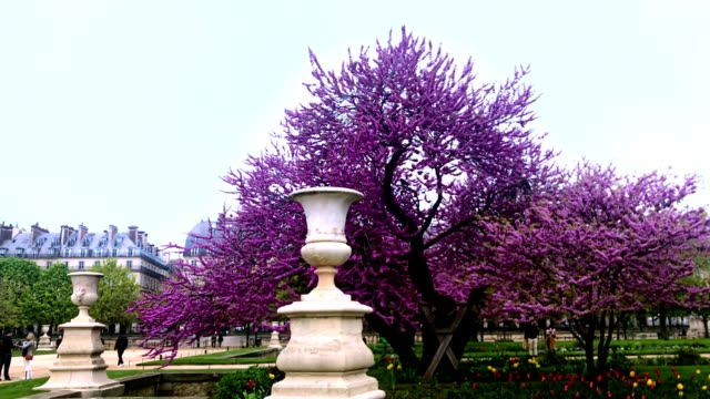 stockvideo's en b-roll-footage met judas tree and its pink flowers in blossom at jardin des tuileries in paris france - judas