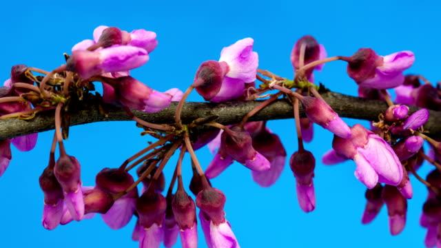 vídeos y material grabado en eventos de stock de árbol de judas florecer en fondo azul - judas