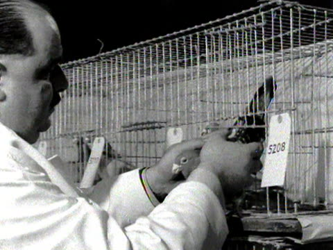 a judge inspects a pigeon at a pigeon show - cage stock videos & royalty-free footage