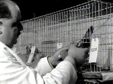 judge inspects a pigeon at a pigeon show. - gabbia per gli uccelli video stock e b–roll