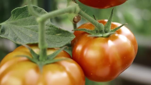 vídeos y material grabado en eventos de stock de tomates jugoso - tomate