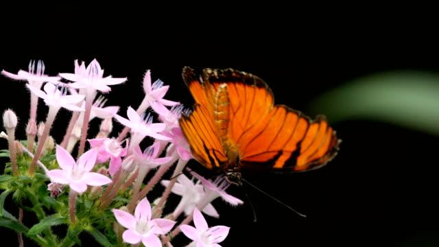 vídeos de stock e filmes b-roll de julia butterfly, dryas iulia  - borboleta