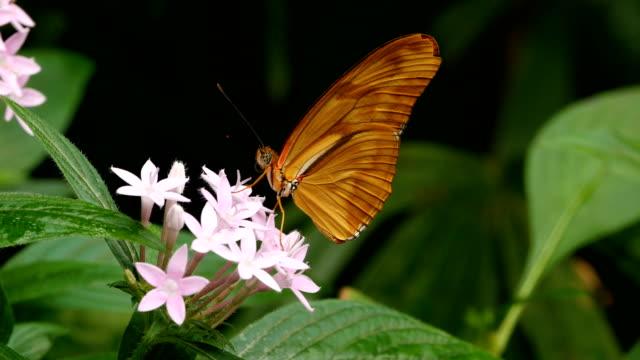 julia butterfly, dryas iulia  - 昆虫点の映像素材/bロール
