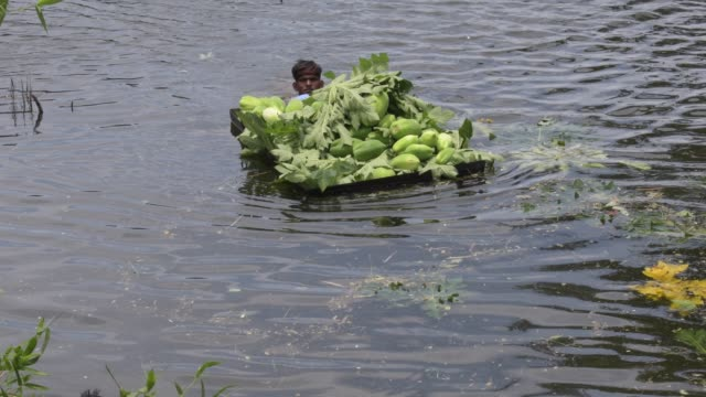 july 2020: as the fields are submerged in the floodwaters, papaya is being collected by farmers from the trees and brought into the water at singair... - papaya stock videos & royalty-free footage