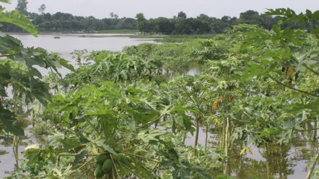 july 2020: papaya field damage in flood water in savar near dhaka. - papaya stock videos & royalty-free footage