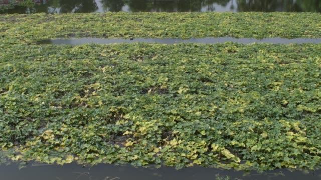 july 2020: pointed gourd vegetable field damage in flood water in savar near dhaka. - gourd stock videos & royalty-free footage