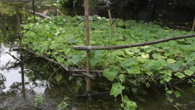 pointed gourd vegetable field damage in flood water in savar near dhaka - zucca legenaria video stock e b–roll