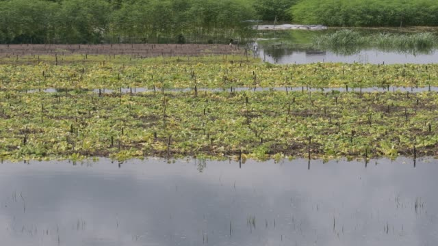 pointed gourd vegetable field damage in flood water in savar near dhaka - gourd stock videos & royalty-free footage