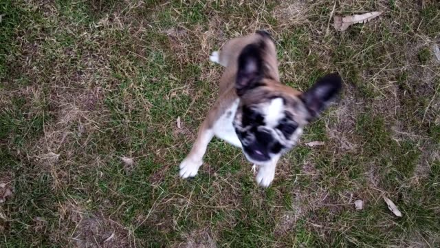 jump up to height of french bulldog - eccitazione video stock e b–roll
