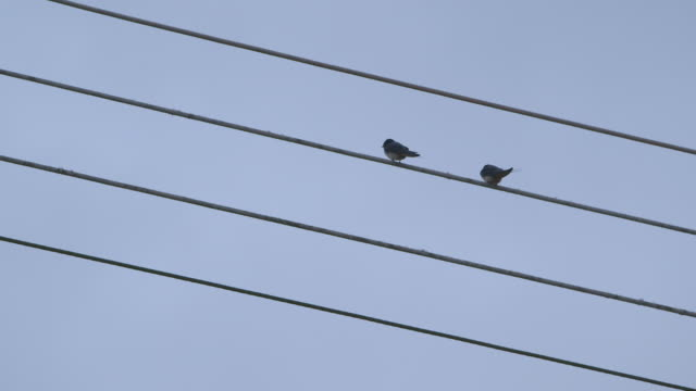 vídeos y material grabado en eventos de stock de jump-cut, handheld sequence showing two birds resting on a telegraph line, uk. - cable