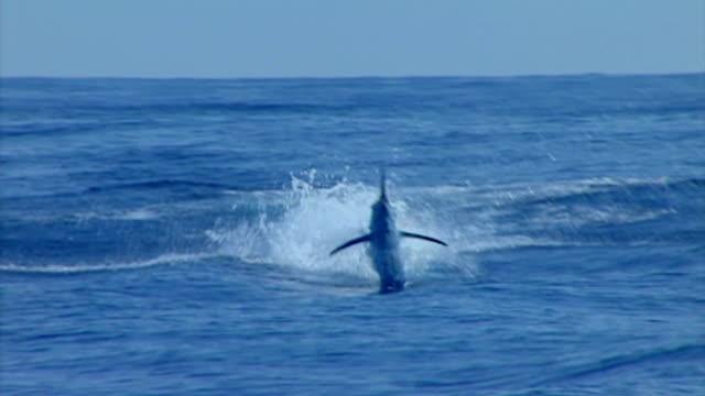 vídeos de stock, filmes e b-roll de saltar marlin-azul - fishing