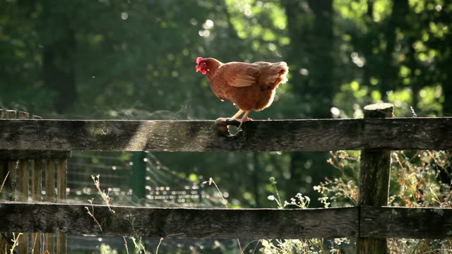 jumping chicken - flying stock videos & royalty-free footage