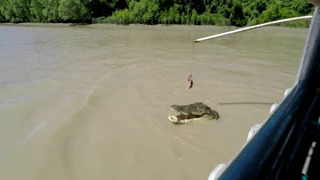 jumping crocs - adelaide river stock videos & royalty-free footage