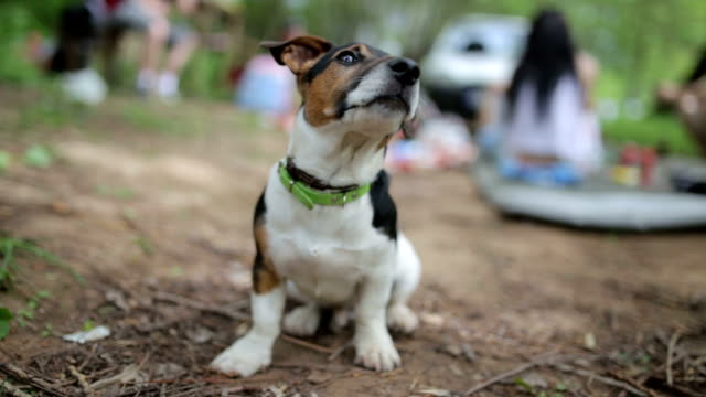 cane saltare - jack russel video stock e b–roll