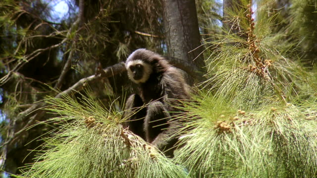 jumping gibbon - pine branch stock videos & royalty-free footage