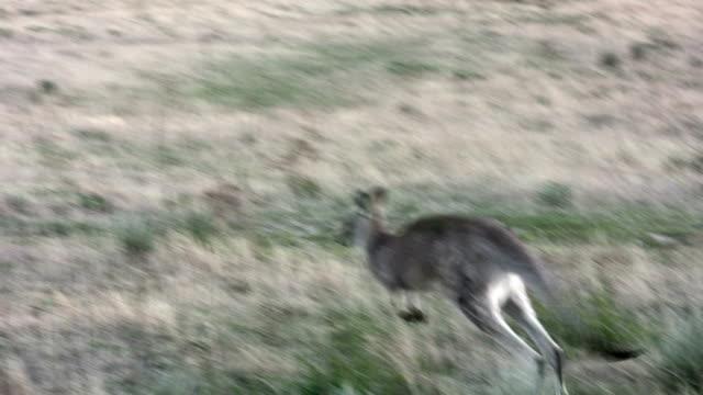 vídeos de stock, filmes e b-roll de saltar kangaroo, no cerrado da austrália - marsupial