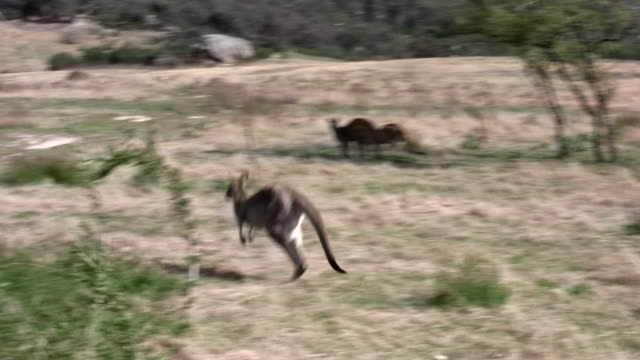 jumping kangaroo - canberra stock videos & royalty-free footage
