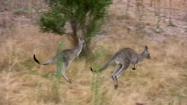 Springenden Kängurus