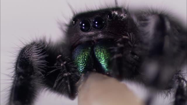 a jumping spider feeds on a maggot. - aggression点の映像素材/bロール