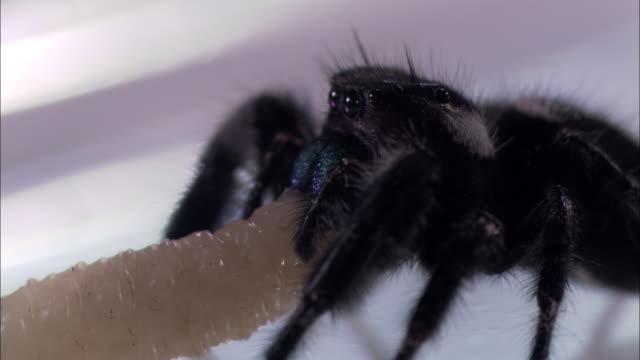 a jumping spider feeds on a maggot. - gliedmaßen körperteile stock-videos und b-roll-filmmaterial