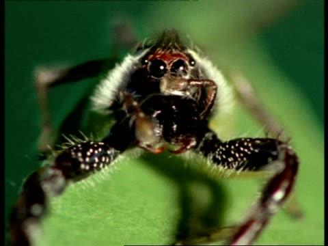 vídeos de stock, filmes e b-roll de jumping spider - ecu front view, on leaf, eyes - medo